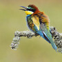 Abejaruco / Bee-eater