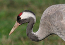 Grulla / Crane